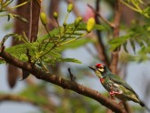 Varkalis_Coppersmith Barbet