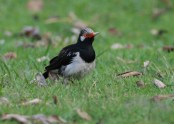 Asian Pied Starling_smz