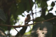 Brown-streaked Flycatcher 2