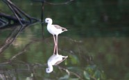 Black-winged Stilt female